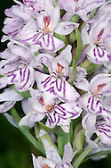 COMMON SPOTTED-ORCHID Dactylorhiza fuchsii (Orchidaceae) Height to 60cm. Robust orchid of grassland, open woods and verges, mostly on calcareous or neutral soils. FLOWERS vary in colour from plant to plant, ranging from pale pink to pinkish purple; darker streaks and spots adorn lower lip, which has 3 even-sized lobes and is 1cm across. Flowers are borne in open spikes (May-Aug). FRUITS are egg-shaped. LEAVES are green glossy and dark-spotted; borne in a basal rosette before flower stalk appears; narrower leaves sheath lower part of the stalk. STATUS-Locally common.