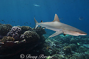 juvenile gray reef shark, Carcharhinus amblyrhynchos, Bay of Wrecks, Christmas Island ( Kiritimati ), Republic of Kiribati, northern Line Islands, equatorial Central Pacific Ocean