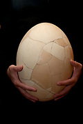 Re-constructed Elephant Bird Egg, Aepyornis maximus, Fort Dauphin, Madagascar,  a giant, flightless ratite native to Madagascar, has been extinct since at least the 17th century. Aepyornis was one of the world's largest birds, believed to have been 3 metr