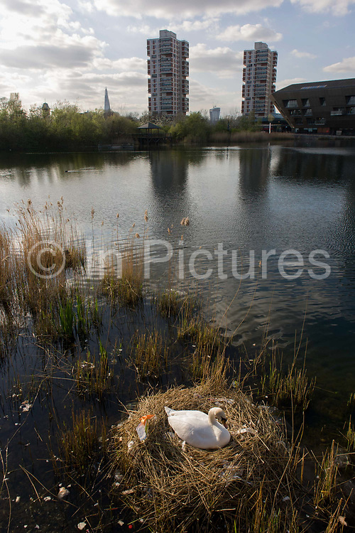 A female mute swan (pen) incubates her eggs on a nest surrounded by plastic bags waste, in an urban water basin. Tower blocks are seen across the water in the distance. She shares the nest with wrappers and bottles, bags and cans tossed from a nearby walkway and perhaps drifted on the water from this urban basin in London's Docklands. The mute swan, which is the white swan most commonly seen in the British Isles, will normally mate at anytime from spring through to summer, with the cygnets being born anytime from May through to July. A swan's nest takes 2-3 weeks and the egg laying process begins with an egg being laid every 12-24 hours. They will all be incubated (ie sat on to start the growth process) at the same time with hatching usually 42 days (6 weeks) later.