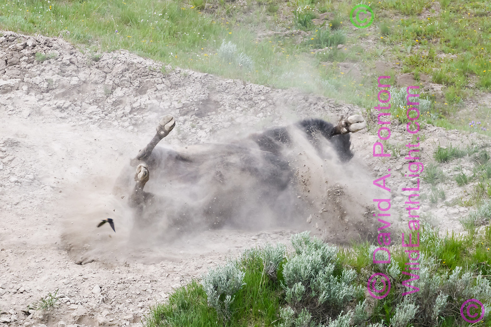 American bison rolls and kicks in rocky dirt patch on a hillside (cliff swallow flying past), Yellowstone National Park, © David A. Ponton