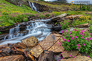 Alpine wildflowers along Oberlin Creek in Glacier National Park, Montana, USA