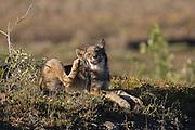 Wolf, Canis lupus, pup rests on autumn tundra, scratching Grant Creek pack, horizontal, Denali National Park, Alaska, wild