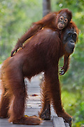 A juvenile orangutan (Pongo pygmaeus) tenderly rides on top of his mother's back as she walks through the forest, Borneo, Indonesia