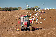 Gulls follow tractor harrowing a field in Oxfordshire, Cotswolds, United Kingdom
