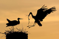 White stork (Ciconia ciconia) adult bringing in nest material. Rusne, Lithuania. Mission: Lithuania