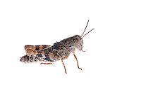 IFTE-NB-007317; Niall Benvie; Calliptamus italicus nymph; Austria; grasshopper; Europe; Austria; Tirol; Fliesser Sonnenhänge; insect arthropod invertebrate; horizontal; high key; white brown; controlled; one; grassland moor; 2008; July; summer; strobe backlight; Wild Wonders of Europe Naturpark Kaunergrat