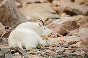 Mountain goat in the Beartooth Mountains of Wyoming