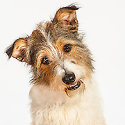 Terrier Mixed Breed Dog