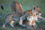 Lion cubs (Panthera Leo) wrestling and playing within the pride in the morning,Masai Mara, Kenya,Africa