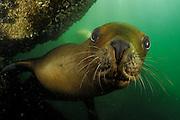 Southern sea lions (Otaria flavescens) Comau Fjord, Patagonia, Chile | Wie bei allen Robbenarten sind die kräftigen Barthaare (Vibrissen) des Südamerikanischen Seelöwen (Otaria flavescens) hochempfindliche Sinnesorgane, mit denen die Tiere zum Beispiel die Wasserverwirbelungen eines vorbeischwimmenden Beutefisches ertasten und verfolgen können. Der Geruchssinn spielt dagegen unter Wasser keine Rolle und so werden die Nasenlöcher beim Untertauchen fest verschlossen, um ein Eindringen von Wasser zu verhindern. Auch Mähnenrobbe genannt. Comau Fjord, Patagonien, Chile
