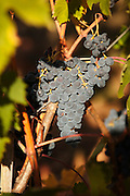 Grapes being grown for red wine at a vineyard in Montalcino, famous for the Brunello di Montalcino fine wine grape, in Tuscany, Italy