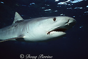 tiger shark, Galeocerdo cuvier, with parasitic copepods, Pandarus cranchi, on  flank, remora next to dorsal fin, and fish hook in mouth, Bimini, Bahamas ( Western Atlantic Ocean )