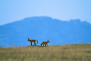Red Fox Kits near the Rocky Mountain Front, Montana.