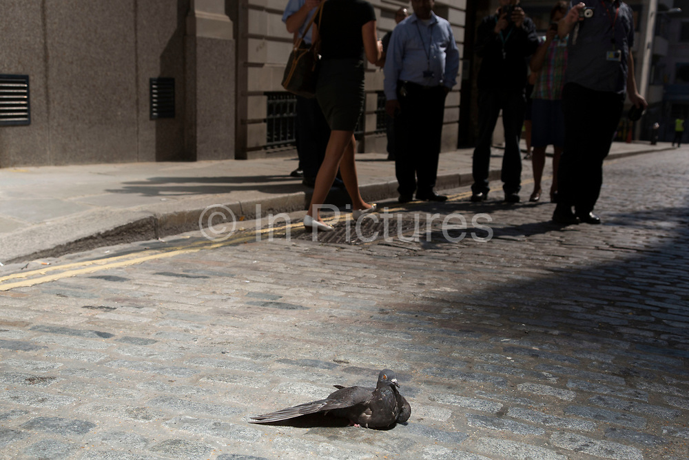 """London, UK. Wednesday 4th September 2013. A pigeon struggles in the hot light. Urgent action in planned to """"cover up"""" the Walkie Talkie skyscraper in the City after sunlight reflected from the building melted a car on the streets below. Temperatures have been measured in excess of 50 degrees C, and as much as 70 degrees at it's peak. The 525ft building has been renamed the """"Walkie Scorchie"""" after its distinctive concave surfaces reflected a dazzling beam of light which has caused extensive damage to nearby buildings."""