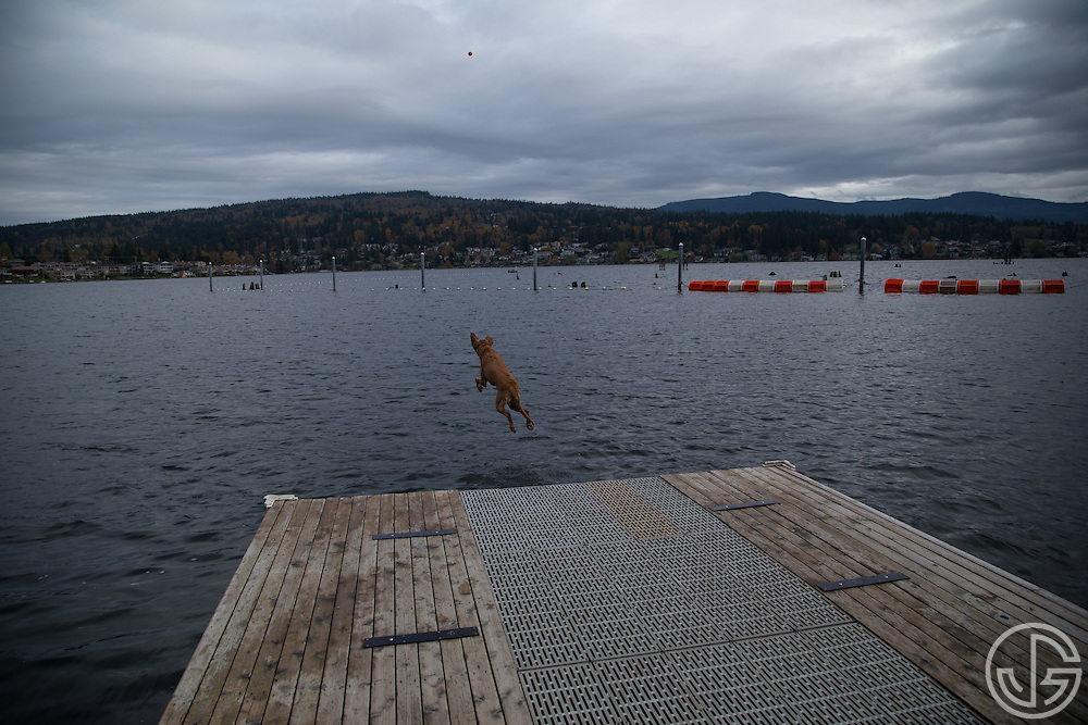 A golden retriever jumps off a dock into Lake Whatcom at Bloedel Donovan Park in Bellingham, Washington, Sunday, November 2, 2014.