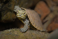 Map Turtle<br /> <br /> Isaac Szabo/Engbretson Underwater Photo