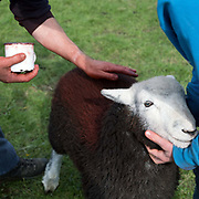 Hill farmer putting red on his Herdwick lamb at the 150th Eskdale Show in Cumbria on 29 September 2018. Herdwick sheep are the native breed of the central and western Lake District and live on the highest of England's mountains. They are extremely hardy and are managed in the traditional way on the Lake District fells that have been their home for generations.