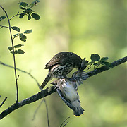 Northern Pygmy Owl, (Glauidium gnoma) Male with young cedar waxwing recently killed. Western Montana. Summer.