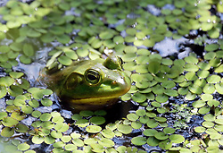 04 June 2015. Jean Lafitte National Historic Park, Louisiana.<br /> A Bullfrog in the swamp at the Barataria Preserve wetlands south of New Orleans.<br /> Photo©; Charlie Varley/varleypix.com