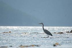 Great Blue Heron (Ardea herodias), Orcas Island, San Juan Islands, Washington, US