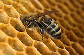 Lifecycle - Honey Bee