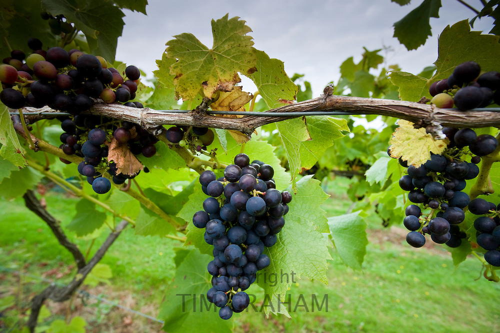 Black grapes Reichensteiner growing on grapevines for British wine production at The Three Choirs Vineyard, Newent, Gloucestershire