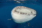 Whale Shark (Rhincodon typus)<br /> Cenderawasih Bay<br /> West Papua<br /> Indonesia