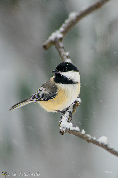 The black-capped chickadee (Poecile atricapillus) is a small, nonmigratory, North American songbird that lives in deciduous and mixed forests. The chickadee is the state bird of Massachusetts, USA.  Its familiar call of chick-a-dee-dee-dee gave this bird its name.  The chickadee total body length is 12–15 cm (4.7–5.9 in), with a wingspan is 16–21 cm (6.3–8.3 in) and a body mass of 9–14 g (0.32–0.49 oz).   Sexes look alike, but males are slightly larger and longer than females.<br /> <br /> The chickadee has fascinating eating habits.  Insects (especially caterpillars) form a large part of their diet in summer. Seeds and berries become more important in winter.  Like many other species in the family Paridae, black-capped chickadees commonly cache their food, mostly seeds but sometimes insects also.  Items are stored singly in various sites such as bark, dead leaves, clusters of conifer needles, or knotholes. The chickadee can remember the location of caches up to 28 days.   Within the first 24 hours, the birds can even remember the relative quality of the stored items. <br /> <br /> The chichadee is also well known for its uncommon capability to lower its body temperature.  During cold winter nights, these birds can reduce their body temperature by as much as 10 to 12 °C (from their normal temperature of about 42 °C) to conserve energy.