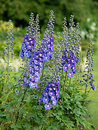 Delphinium 'Orpheus' at Waterperry Gardens, Waterperry, Wheatley, Oxfordshire, UK
