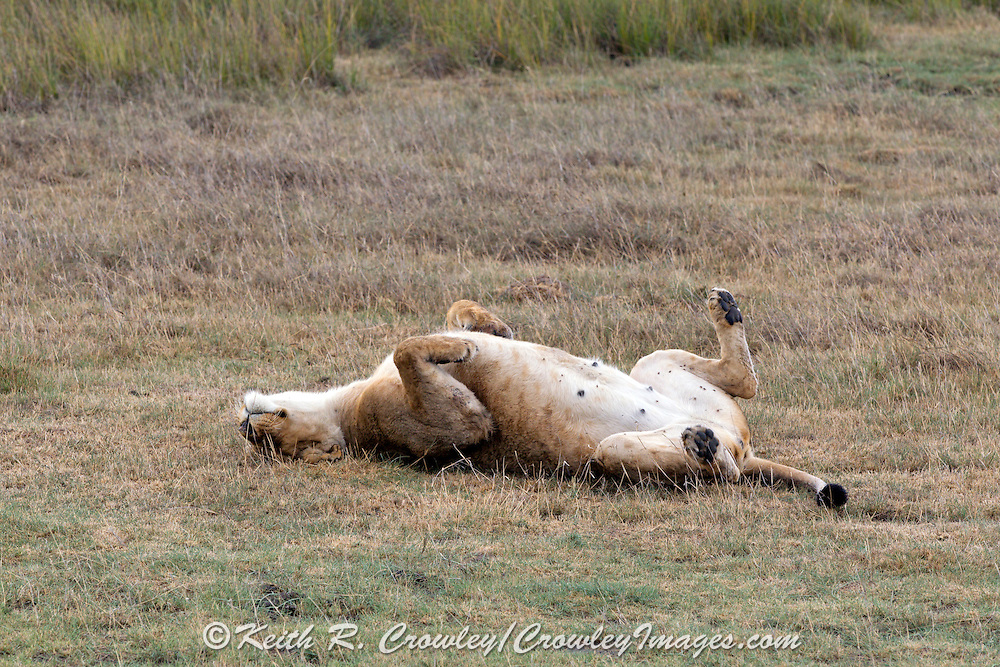 Lion in East African habitat