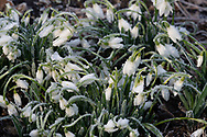 Frost covered Snowdrops (Galanthus nivalis) at Chiswick House, Chiswick, London, UK