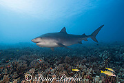 large female tiger shark, Galeocerdo cuvier, swims across a coral reef comprised mostly of finger coral, Porites compressa, Honokohau, Kona, Big Island, Hawaii, USA ( Central Pacific Ocean )
