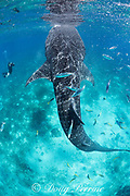 2019 Rolex / Our World Underwater scholar Neha Acharya-Patel photographs a whale shark, Rhincodon typus, provisioned by fishermen with small shrimp, Oslob, Cebu, Philippines, Bohol Sea ( Western Pacific Ocean ); bonito and other fish also snap up the provisioned food; MR 509
