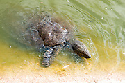 African softshell turtle (Trionyx triunguis). This species inhabits fresh water and brackish habitats in Africa (larger parts of East, West and Middle Africa) and the Near East (Israel, Lebanon, Syria and Turkey) Can reach 1.2 meters in lrngth and up to 50Kg. Photographed in the Alexander River in Israel