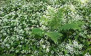 Wild Garlic, Ramsons Allium ursinum, Park Gate Down, Kent Wildlife Trust, UK, growing in woodland, also known as buckrams, wild garlic, broad-leaved garlic, wood garlic or bear's garlic