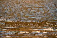 Kulan, Khulan or Mongolian wild ass, Equus hemionus hemionus, Kalamaili National Nature Reserve, Xinjiang, China