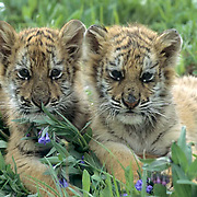 Siberian Tiger, (Panthera tigris altaica) Pair of cubs. Captive Animal.