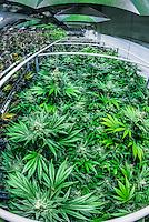 Green Crack marijuan strain, Flowering Grow room, Sticky Buds, Denver, Colorado USA.