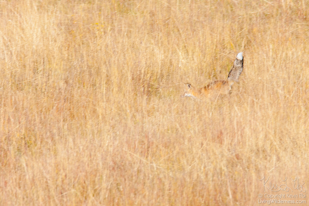 A red fox (Vulpes vulpes) hunts in a field in the Gunnison National Forest, Colorado.