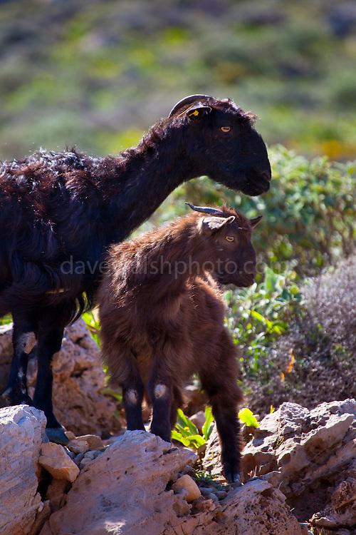 Domestic, free range goat, Crete