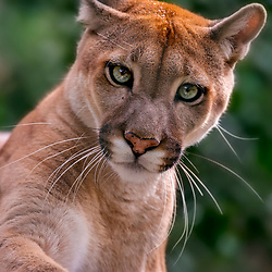 Onça-parda (Puma concolor) fotografado em Goiás - Centro-Oeste do Brasil. Bioma Cerrado. Registro feito em 2015.<br /> ⠀<br /> ⠀<br /> <br /> <br /> <br /> <br /> ENGLISH: Puma photographed in Goias - Midwest of Brazil. Cerrado Biome. Picture made in 2015.