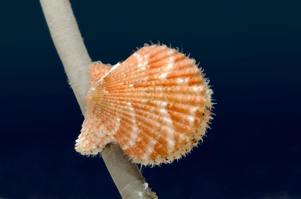 Queen Scallop - Aeqiopecten opercularis