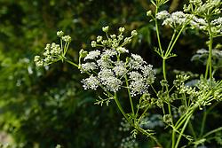 Gevlekte scheerling, Conium maculatum