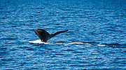 Humpback whale off Santa Cruz Island, Channel Islands National Park, California USA