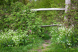 Greater stitchwort growing around a stile by a native hedgerow. Stellaria holostea