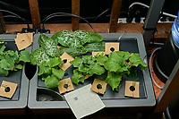 AeroGarden Farm 05 Right Tray Day 14. R01-R03 Zucchini (Botanical Interest); R04-R06 Swiss Chard (Botanical Interest); R07-R09 Broccoli Raab (Burpee); R10-R12 (Bunching Onions (Burpee). Image taken with a Leica TL-2 camera and 35 mm f/1.4 lens (ISO 400, 35 mm, f/8, 1/80 sec).