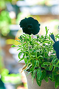 Close up of a single blooming black flower of the Black Velvet Petunia plant. Photographed in Israel in February