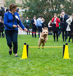 London, October 26 2017. Maria Miller MP and her Cockapoo Ted tackle an obstacle at the annual Kennel Club and Dogs Trust Westminster Dog Of The Year competition that sees MPs and members of the House of Lords with their dogs as well as rescue dogs from the Dogs Trust. © Paul Davey