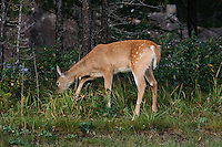 I was out for a sunrise shoot in Kananaskis and I was very excited to find a pair of juvenile deer with their mom near the Lodge when I returned to the Village .  The juveniles were still sporting a beautiful set of bambi spots and they were very fun to watch...©2009, Sean Phillips.http://www.Sean-Phillips.com